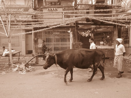 milkman: MILKMAN ON ROAD WITH COW.SHOT AT PATNA, BIHAR INDIA: MORNINGHOURS ON NOVEMBER 23,2012.