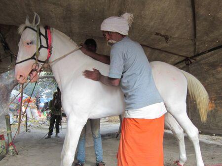 sonepur: MAN MESSAGING HORSE.SHOT DURING MORNING HOURS ON 02.12.12 AT SONEPUR FAIR, SONEPUR, BIHAR, INDIA.