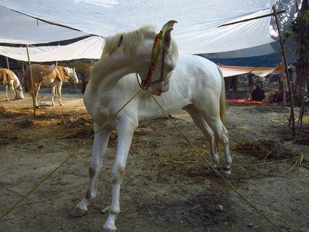 sonepur fair: HORSE FOR SELL AT FAIR.SHOT DURING MORNING HOURS ON 02.12.12 AT SONEPUR FAIR, SONEPUR, BIHAR, INDIA