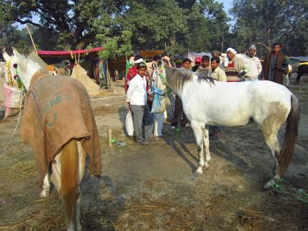 sonepur: HORSE FOR SELL AT FAIR.SHOT DURING MORNING HOURS ON 02.12.12 AT SONEPUR FAIR, SONEPUR, BIHAR, INDIA.