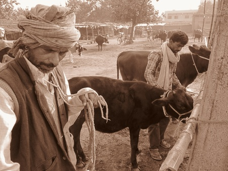 COWS FOR SALE.SHOT DURING MORNING HOURS ON 02.12.12 AT SONEPUR FAIR, SONEPUR, BIHAR, INDIA. Stock Photo - 17228520