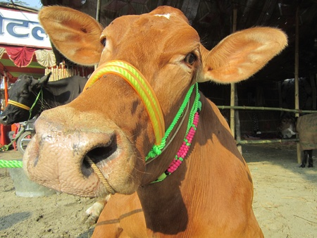 COW.SHOT DURING MORNING HOURS ON 02.12.12 AT SONEPUR FAIR, SONEPUR, BIHAR, INDIA.