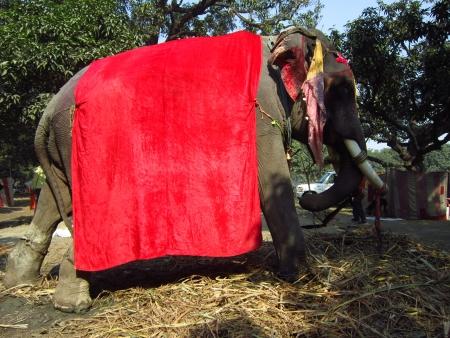 sonepur fair: ELEPHANT AT SONEPUR FAIR.SHOT DURING MORNING HOURS ON 02.12.12 AT SONEPUR FAIR, SONEPUR, BIHAR, INDIA. Editorial