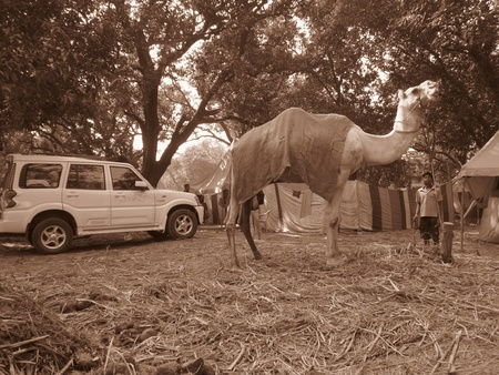 sonepur: CAMEL AT FAIR.SHOT DURING MORNING HOURS ON 02.12.12 AT SONEPUR FAIR, SONEPUR, BIHAR, INDIA.