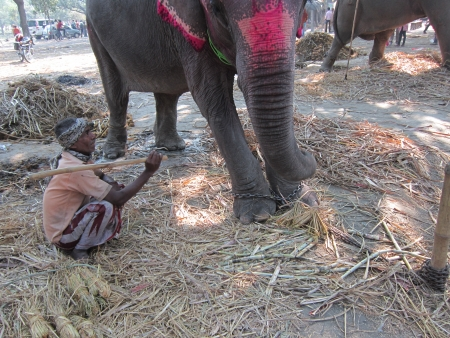 sonepur fair: ELEPHANT AND A MAHOT. SHOT DURING MORNING HOURS ON 02.12.12 AT SONEPUR FAIR, SONEPUR, BIHAR, INDIA.