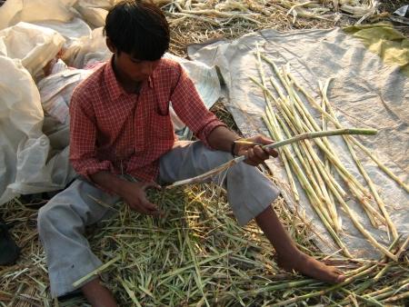 sonepur fair: BOY SELLING SUGARCANE.SHOT DURING AFTERNOON HOURS ON 02.12.12 AT SONEPUR FAIR, SONEPUR, BIHAR, INDIA.