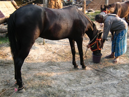 MAN FEEDING HORSE WITH WATER.SHOT DURING AFTERNOON HOURS ON 02.12.12 AT SONEPUR FAIR, SONEPUR, BIHAR, INDIA.