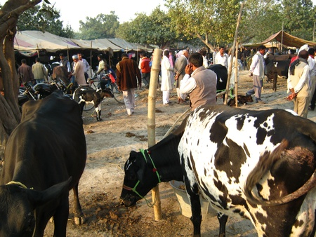 AREA WHERE COWS ARE FOR SELL AT SONEPUR FAIR.SHOT DURING MORNING HOURS ON 02.12.12 AT SONEPUR, BIHAR, INDIA. Stock Photo - 17228471