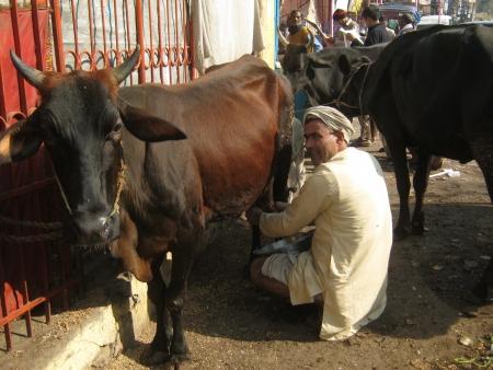 milkman: UNIDENTIFIED MILKMAN MILKS COW. SHOT ON MORNING HOURS ON FEBRUARY 14, 2013 AT PATNA, BIHAR, INDIA.
