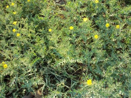 thorny: YELLOW THORNY FLOWER