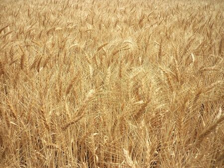 paddy field: GOLDEN COLORED PADDY FIELD Stock Photo