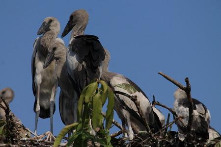 Migratory Siberian birds, Danapur Cantonment, Patna, Bihar. Shot on September 27, 2014. photo