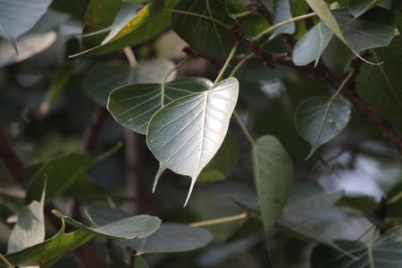 peepal tree: Peepal tree leaves-Bodhgaya Stock Photo