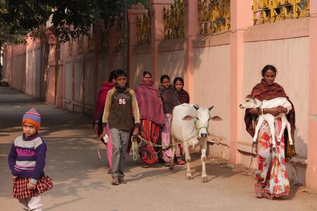 india cow: People return home with cow. India on 26.12.14