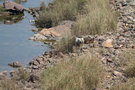 gaze: Cow gaze at Garga Dam. Stock Photo