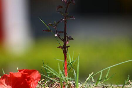 tulsi: Tulsi plant