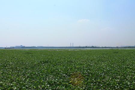 water hyacinth: Water hyacinth.