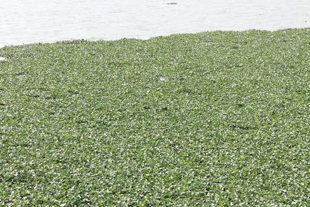 water hyacinth: Water hyacinth,