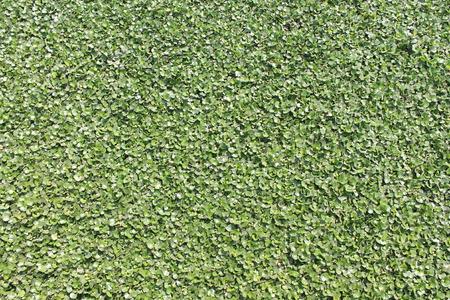 hyacinth: Water hyacinth,