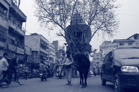 india cow: Indian cow on road in a temple.Shot on 01.02.15, morning hours at Patna, India.