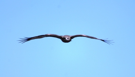 black kite: Black kite. Stock Photo