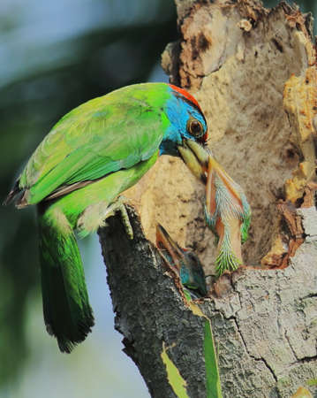 Blue throated barbet feeding chicks on the tree