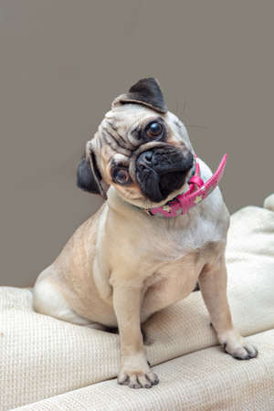Young female Pug dog sitting at home turning head wearing pink necklace.