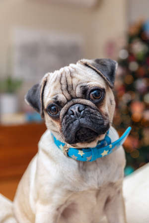 Young female Pug dog sitting at home turning head wearing blue necklace. Standard-Bild