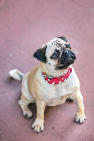 Young Pug dog sitting outdoors with red necklace. Standard-Bild
