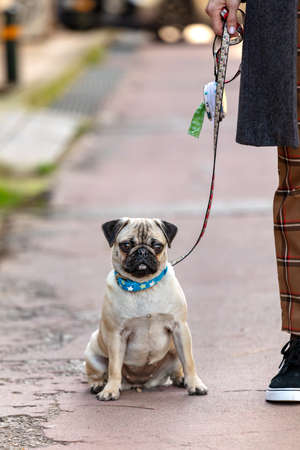 Female young Pug dog sitting looking at camera, outdoors. Standard-Bild