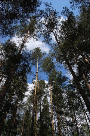 There is a  siberian pine forest. photo