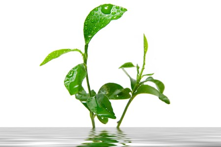 Young green plant leaves reflected in water photo