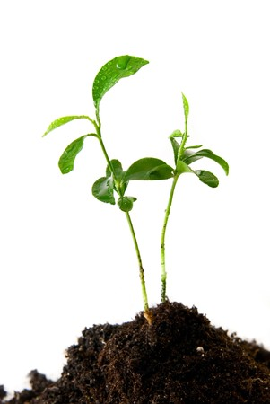 Plant in soil with water drops on white background Stock Photo - 4137202