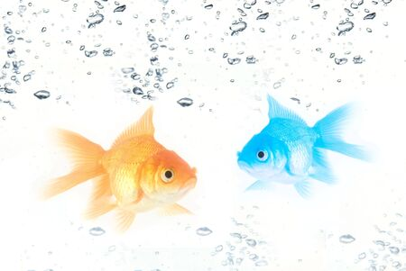 gold  and blue fishes at water isolated on white photo