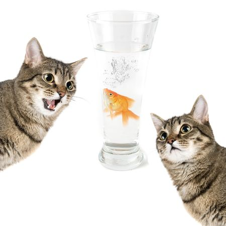 anticiparse: Dos gatos y peces de oro en un recipiente aislado en blanco