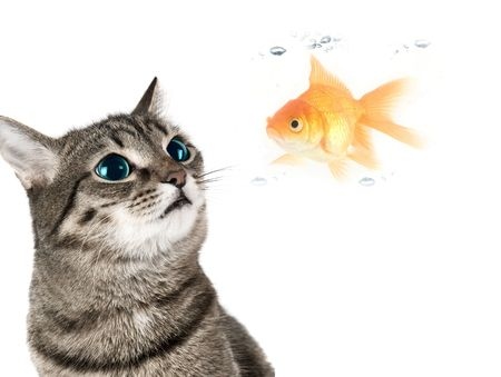 Cat with green eyes looking for goldfish on white photo