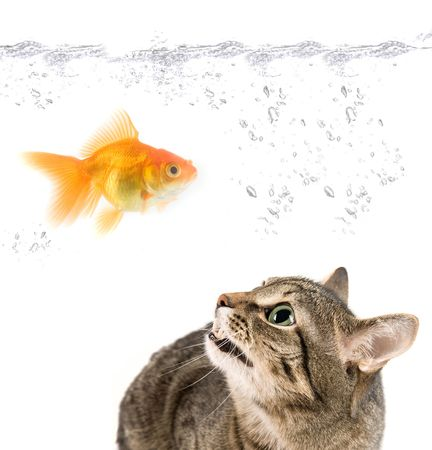 angry cat and gold fish on white photo