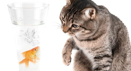 Playing cat and gold fish at glass isolated on white photo