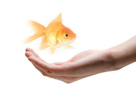gold fish at human hand isolated on white Stock Photo - 4926558