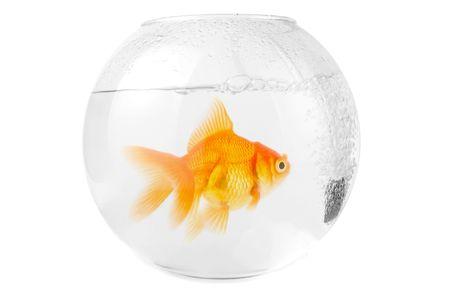 gold fish at aquarium isolated on white Stock Photo - 4929952