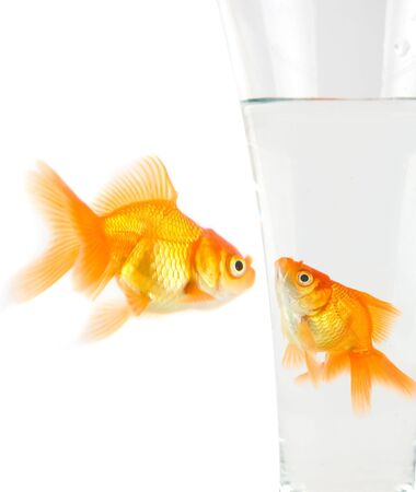 Two goldfish isolated on white background photo