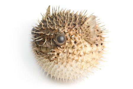 pez globo: Pez erizo aislado en un fondo blanco Foto de archivo