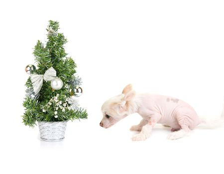 Chinese Crested puppy with firtree isolated on a white photo