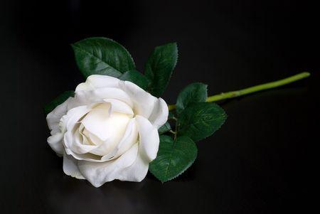 White single rose on a black background Stock Photo - 6357454