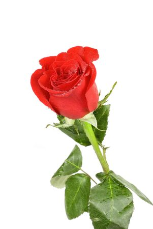 red rose flower isolated on a white Stock Photo - 6357475