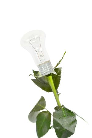 rose bulb flower isolated on a white Stock Photo - 6417435