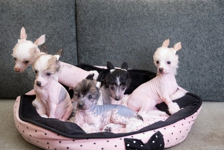 chinese crested puppy dogs in front at sofa photo