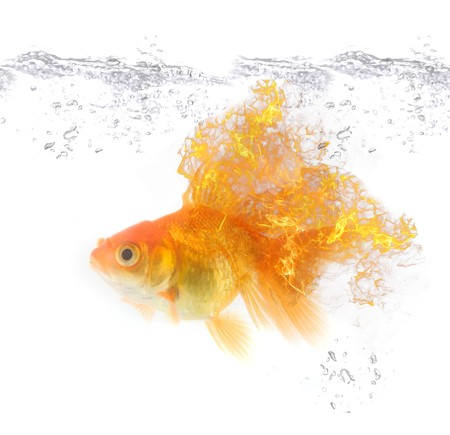 gold fire fish at water isolated on white photo