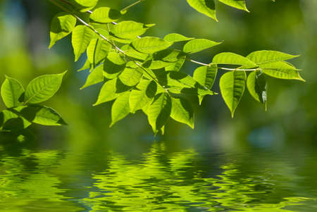 shallow water: green leaves reflecting in the water, shallow focus