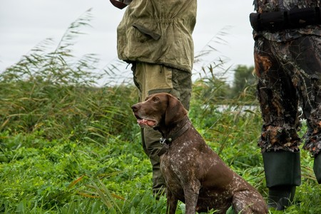 shorthaired: German pointer and closeup of two man at hunting Stock Photo